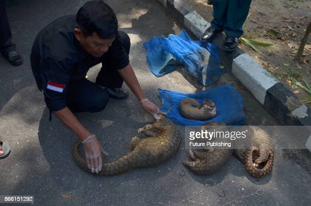 Indonesian officers manage live pangolins held in blue sacks following a recent raid in Pekanbaru Riau province Indonesia on October 25 2017...