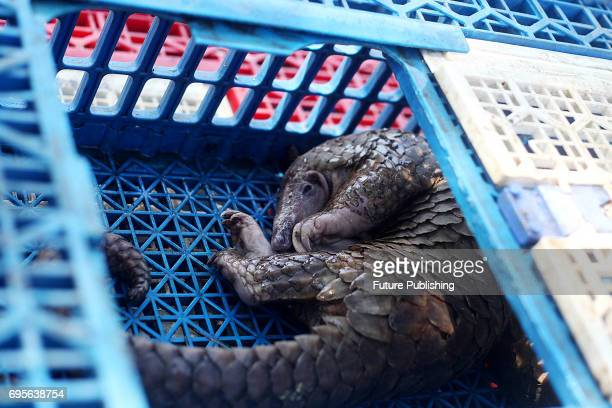 Indonesian official shows a pangolin confiscated from suspected smugglers to Malaysia during a news conference on June 13 2017 in North Sumatra...