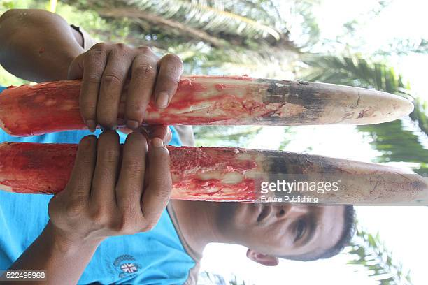 Indonesian official shows tusks retrieved from a fiveyearold elephant that was found dead at a palm oil plantation on April 18 2016 in East Aceh...