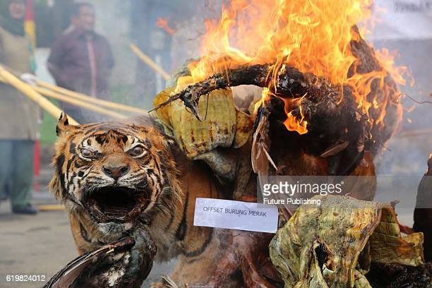 Indonesian police officers set fire a stockpile of Stuffed Sumatran tigers two Sun Bear five bird of paradise two peafowl twotailed Eagles Bronrok...