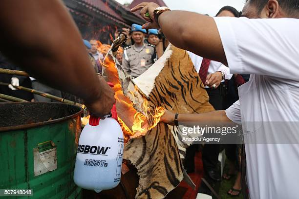 Indonesian police officers set fire a stockpile of tiger skins and other illegal parts in an effort to discourage wildlife smuggling at office of...