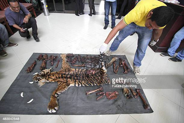 Indonesian police shows skin and bones of the dead Sumatran tiger illegally killed by poachers seen on August 10 2015 in Aceh Indonesia Indonesian...