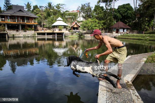 A Indonesian shepherds bathing his sheep in a stream at his farms at Mekar Jaya village in Garut West Java Indonesia on Friday August 3 2018
