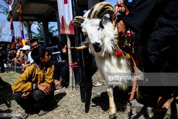 A Indonesian shepherds herding a ram towards of the ring for a fight during a Sundanese traditional cultural event called Adu Domba Garut at...