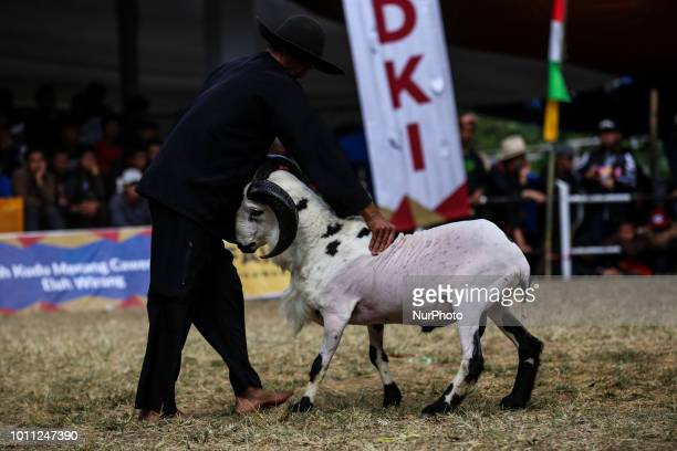 A Indonesian shepherds prepared a ram for fight during a Sundanese traditional cultural event called Adu Domba Garut at Rancabango village in Garut...