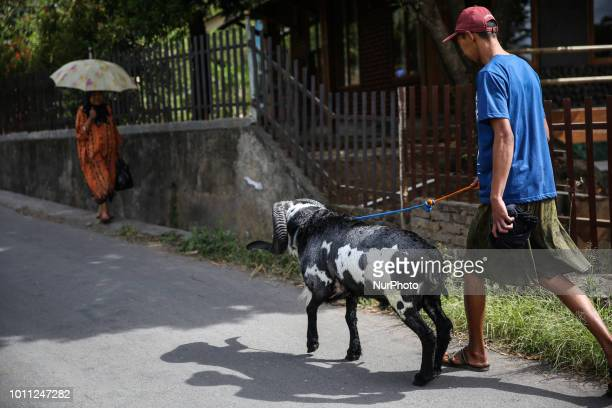 A Indonesian shepherds walks with his goat towards to farms at Mekar Jaya village in Garut West Java Indonesia on Friday August 3 2018