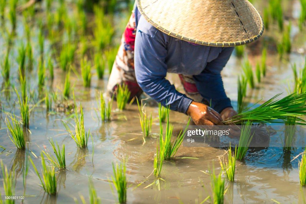 Indonesische vrouw op het gebied van rijst : Stockfoto