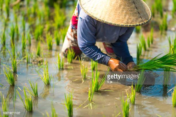 indonesian woman on the rice field - paddy field stock pictures, royalty-free photos & images