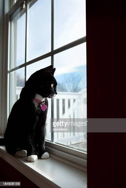 Indoor Cat Looking Though Window