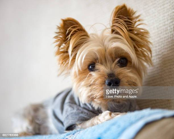 indoor dog - yorkshire terrier stock pictures, royalty-free photos & images