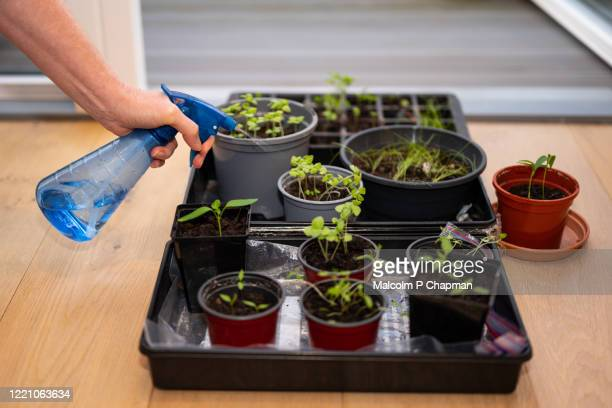 indoor garden - planting seeds and gardening in an apartment during lockdown - watering stock pictures, royalty-free photos & images