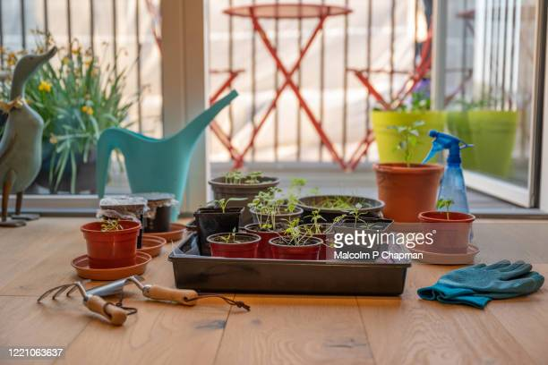 indoor garden - planting seeds and gardening in an apartment during lockdown - gardening stock pictures, royalty-free photos & images