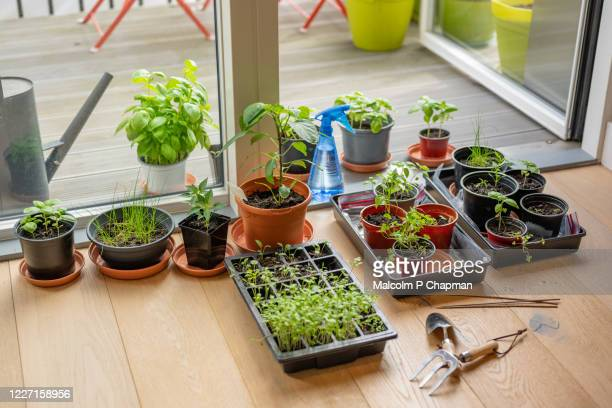 indoor garden - planting seeds and gardening in an apartment during lockdown - indoors stock pictures, royalty-free photos & images