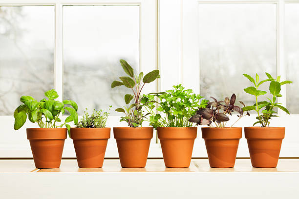indoor herb plant garden in flower pots by window sill - herb garden stock pictures, royalty-free photos & images