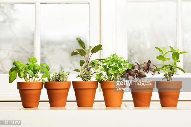 indoor herb plant garden in flower pots by window sill - pot plant stock pictures, royalty-free photos & images
