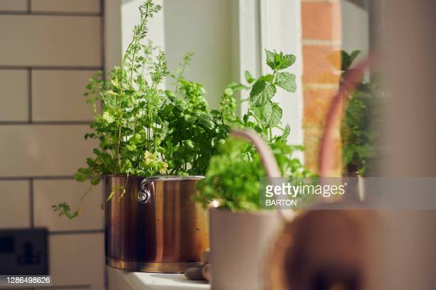 indoor herb plants on window ledge - mint leaf culinary stock pictures, royalty-free photos & images