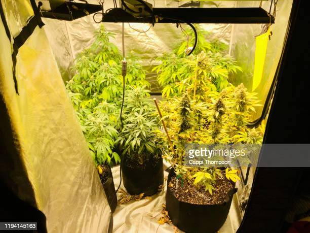 indoor medical cannabis home grow tent with led lighting - marijuana leaf stock pictures, royalty-free photos & images