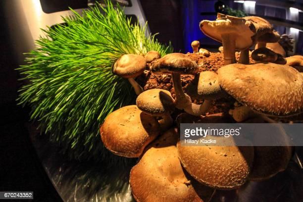 indoor mushroom garden - magic mushroom stock photos and pictures
