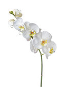 Indoor plant white orchid flower