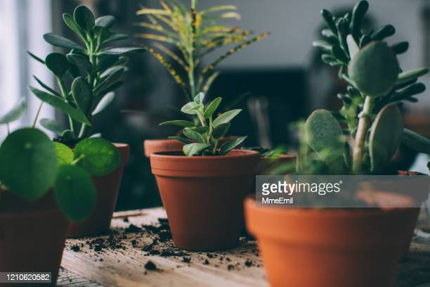 indoors gardening, potting succulent houseplants - houseplant stock pictures, royalty-free photos & images