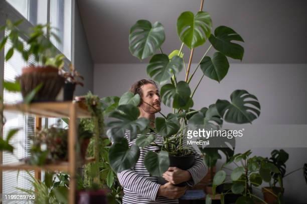 jardinagem dentro de casa, homem redhead novo que embebe uma planta exótica, monstera deliciosa - flora - fotografias e filmes do acervo