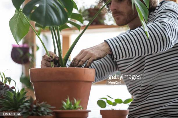 indoors gardening, junge rothaarige mann potting eine exotische pflanze, monstera deliciosa - fensterblatt aroid stock-fotos und bilder