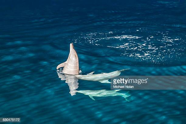 indo-pacific bottlenose dolphin (tursiops aduncus) socializing and feeding at night in yampi bay, kimberley, western australia, australia, pacific - michael stock photos and pictures