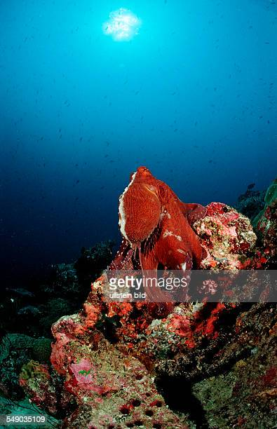 IndoPacific DayOctopus foraging Octopus cyanea Maldives Indian Ocean Meemu Atoll