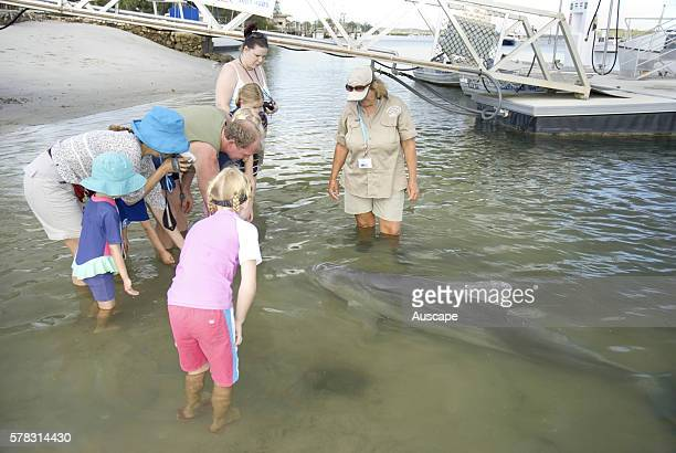 Indo-Pacific humpback dolphin, Sousa chinensis swimming close to wharf at Norman Point to interact with and be hand fed by residents and visitors, as...
