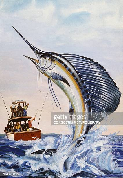 IndoPacific Sailfish Istiophoridae drawing