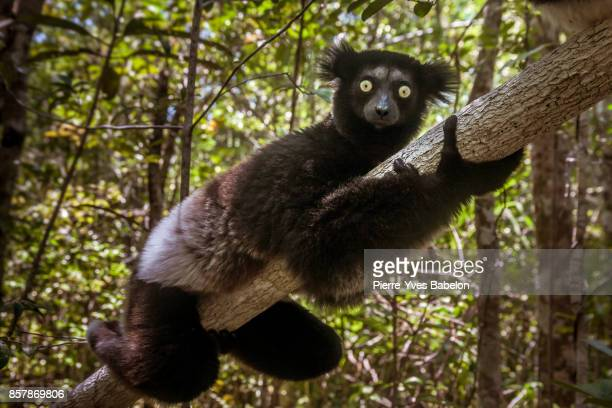 indri indri (babakoto) - rare stock pictures, royalty-free photos & images