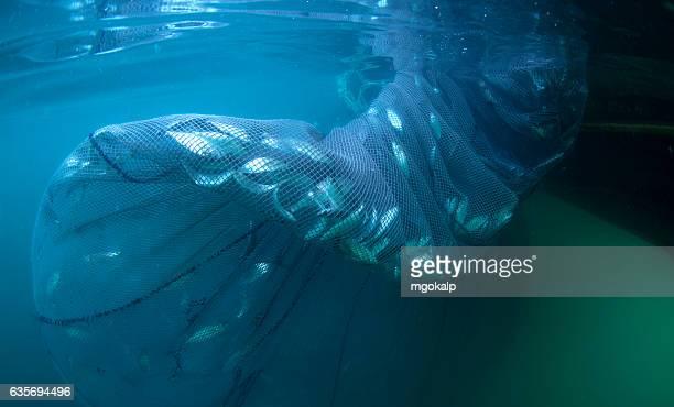 industrial fishing of bluefish during migration - オキスズキ ストックフォトと画像