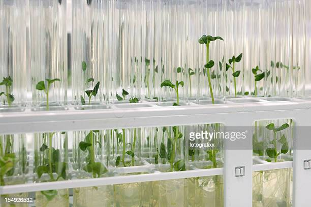 industrial food: in-vitro cultivation, close-up of potato sprouts