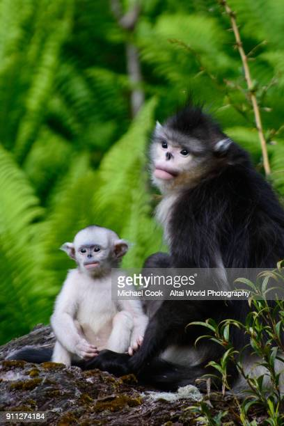 infant black snub-nosed monkey and mother - yunnan snub nosed monkey stock pictures, royalty-free photos & images