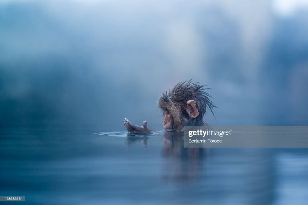 Infant Japanese snow monkey bathing in hot spring in Jigokudani in Nagano Prefecture : ストックフォト
