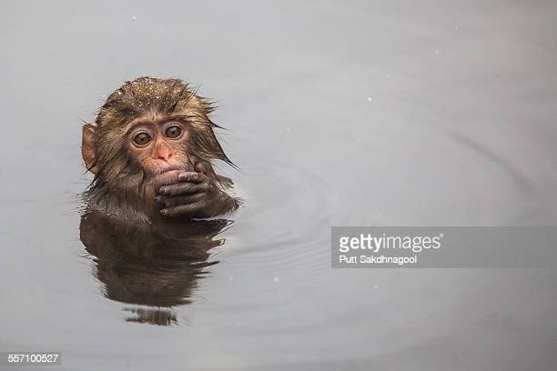 Infant Japanese snow monkey in Onsen