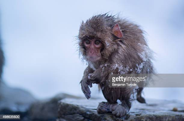Infant Japanese snow monkey standing on edge of hot spring in Jigokudani in Nagano Prefecture
