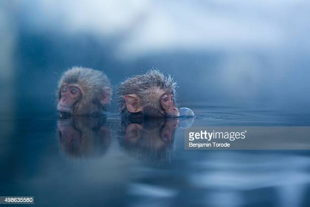 Infant Japanese snow monkeys blowing bubbles hile bathing in hot spring in Jigokudani, Nagano Prefecture