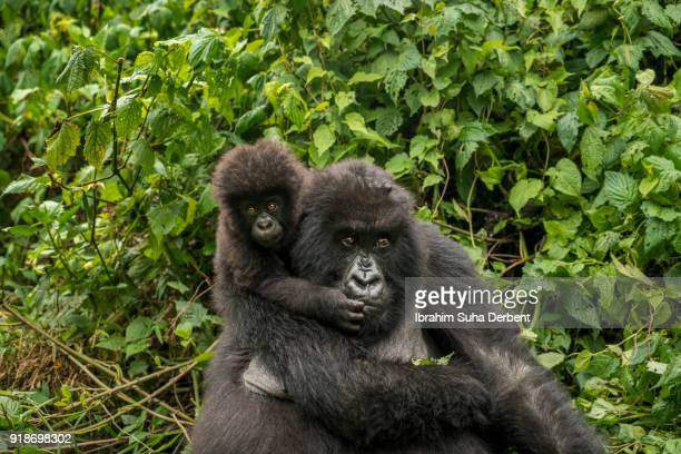 Infant mountain gorilla is climbing on her mother's back.