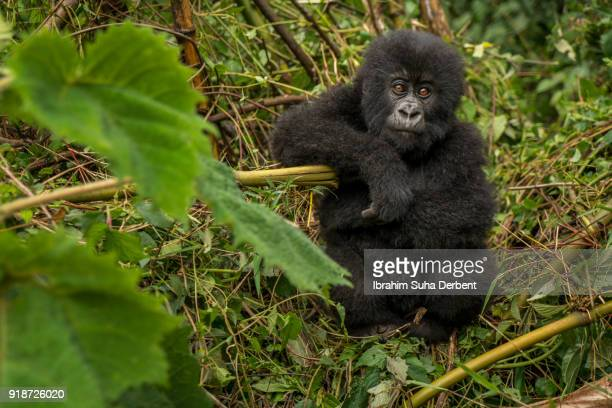 Infant mountain gorilla is looking at the camera.