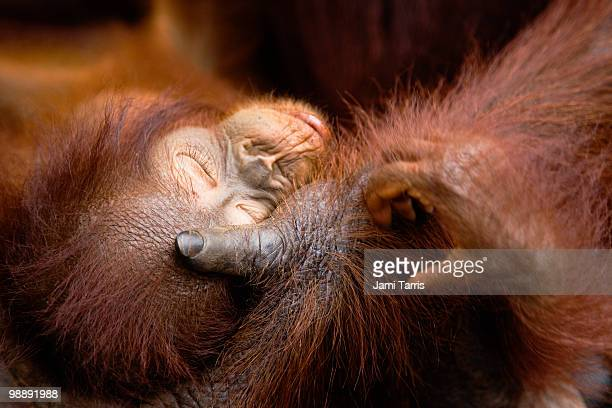 A infant orangutan laying in his mother's hand