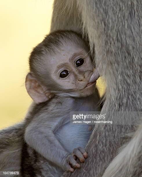 Infant Vervet Monkey (Chlorocebus aethiops) nursing, Kruger National Park, South Africa, Africa