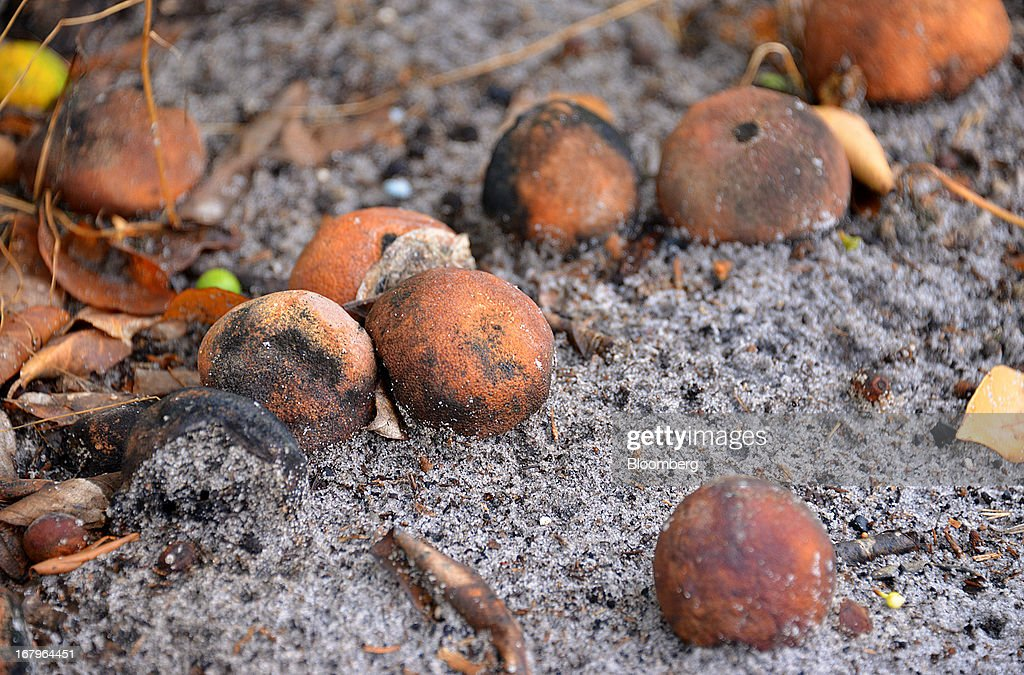 Infected Valencia oranges decay under a tree infected with bacteria from the Asian Citrus Psyllid insect at the Reynolds Farm in Lake Placid, Florida, U.S., on Thursday, May 2, 2013. The U.S. Department of Agriculture probably will lower its estimate for Florida's orange output as unusually dry weather compounds damage from citrus greening, a crop disease that cuts yields. Photographer: Mark Elias/Bloomberg via Getty Images