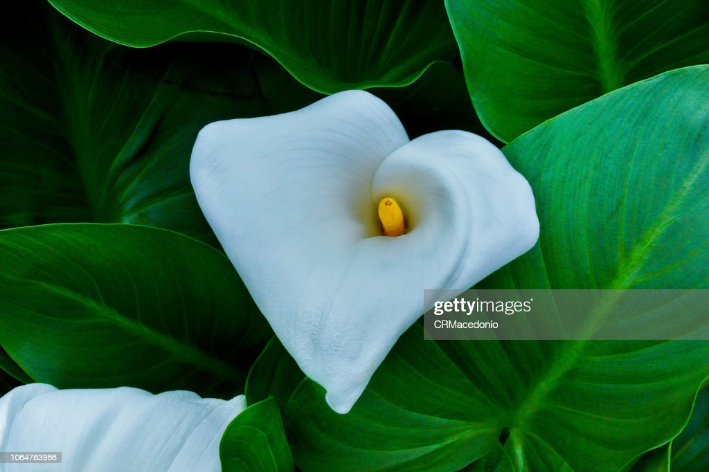 Inflorescence and spathe of Zantedeschia aethiopica. : Stock Photo