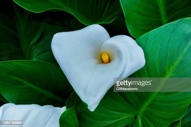 Inflorescence and spathe of Zantedeschia aethiopica.