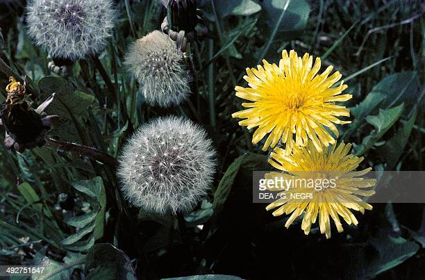 Inflorescence, Common Dandelion , Asteraceae.