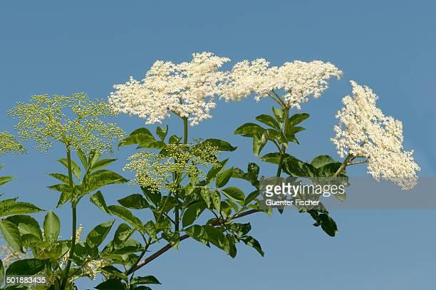 Inflorescence of Black Elder or Elderberry -Sambucus nigra-, Kaiserstuhl, Baden-Wurttemberg, Germany