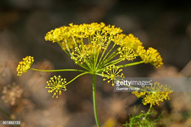 Inflorescence of Dill -Anethum graveolens-