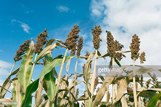 Inflorescence of sorghum