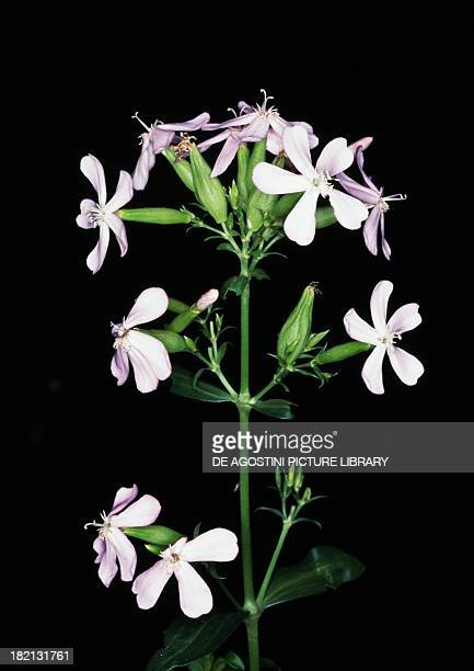 Inflorescences of Common soapwort , Caryophyllaceae.